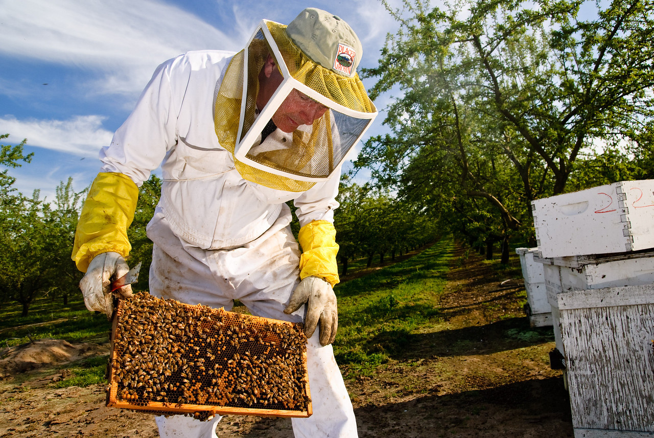 Beekeper John Miller checking for signs of colony collapse disorder
